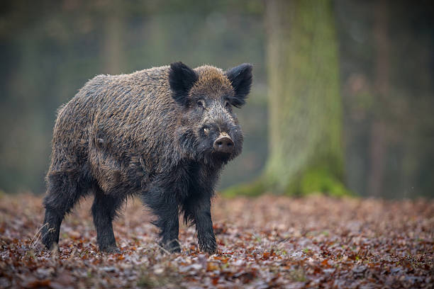 Wild boar male in the forest - Photo