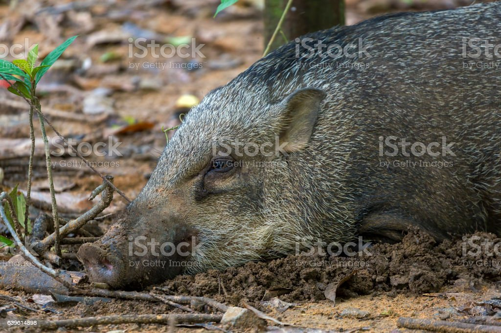 Wild Boar of Pulau Ubin stock photo