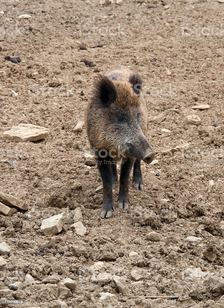 wild boar on earthy ground stock photo