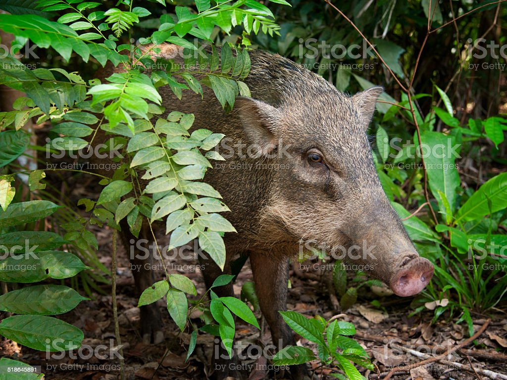 Wild boar on Pulau Ubin stock photo