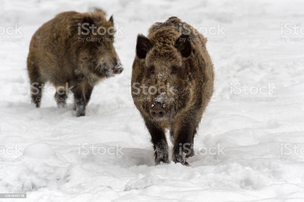 Wild boar on snow stock photo
