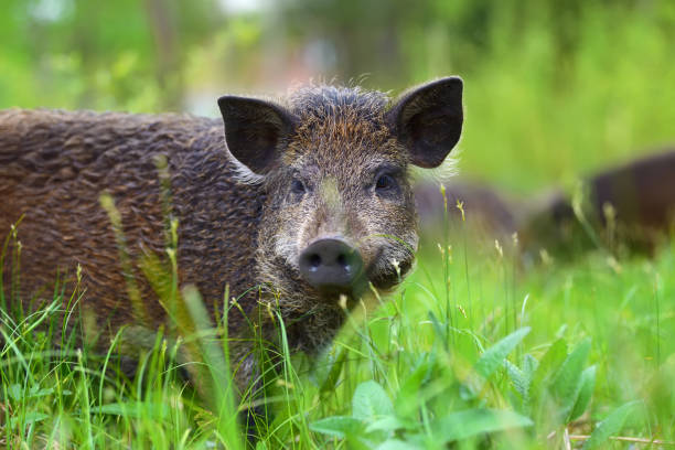 Wild boar on the forest stock photo