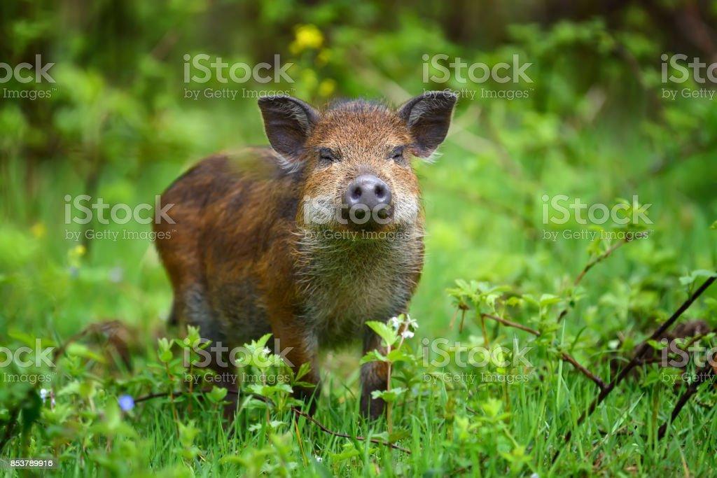 Wildschwein am Wald – Foto