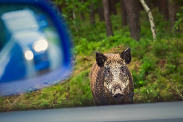 Wild boar on the side of the road Wild boar on the side of the road wild boar stock pictures, royalty-free photos & images