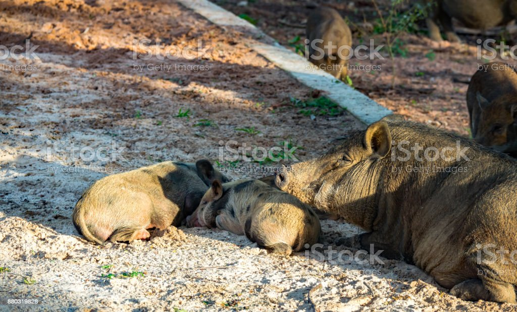 Wild boar or forest pig on sand stock photo