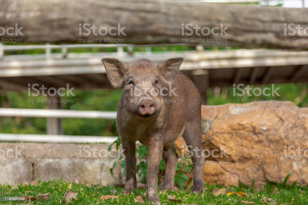 Wild boar or Wild Piggy walk in the park.