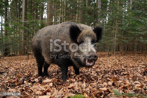 istock wild boar (Sus scrofa) 1046743236
