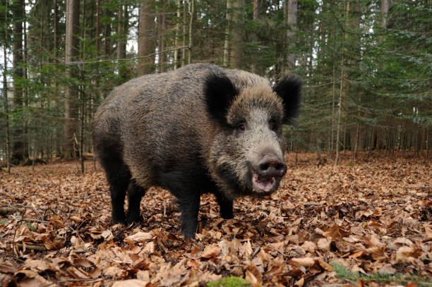 wild boar (Sus scrofa) wild boar (Sus scrofa) wild boar stock pictures, royalty-free photos & images