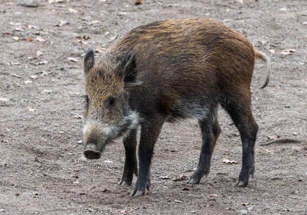 wild boar (sus scrofa) - cinghiale animale foto e immagini stock