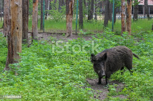 Wild boar. Wool is brown, black. Nature reserve. Aviary in a pine forest. Green landscape. Tall grass.