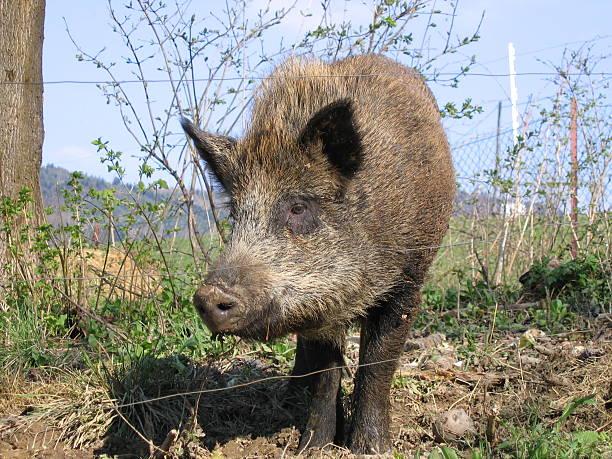 wild boar - ebersberg stock-fotos und bilder
