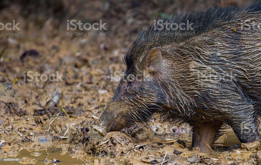 Wild boar(Sus scrofa) stock photo