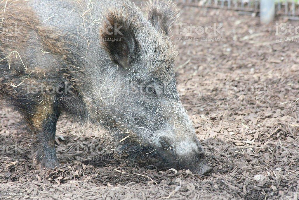 Wild boar   (Sus scrofa) stock photo