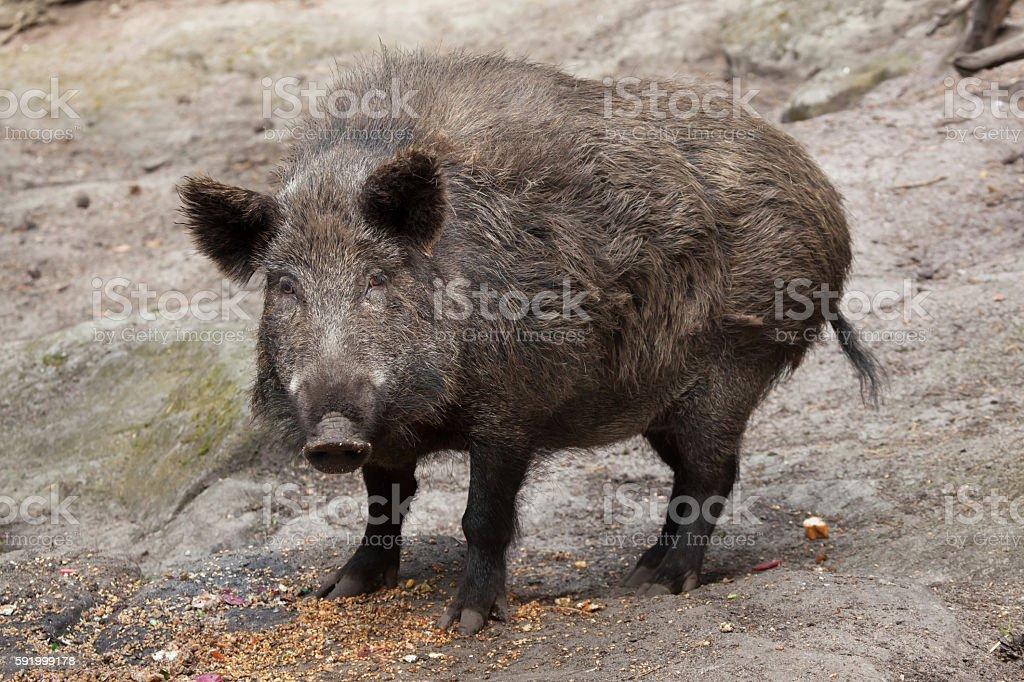 Wild boar (Sus scrofa). stock photo