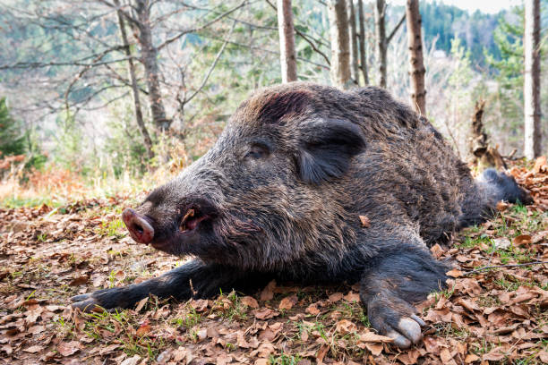 Wild boar Close up trophy shot of dead wild boar placed on the ground after killing. wild boar stock pictures, royalty-free photos & images