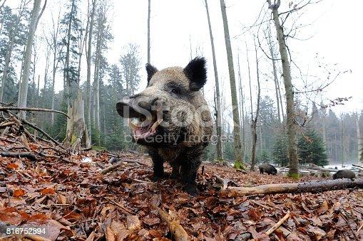 istock Wild boar (Sus scrofa) 816752894