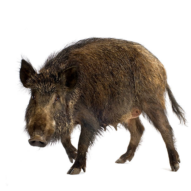 Wild boar  wild boar stock pictures, royalty-free photos & images