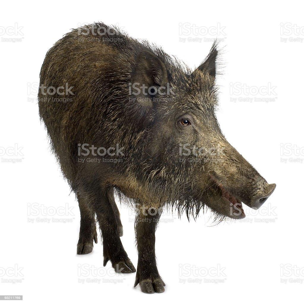Wild boar – Foto