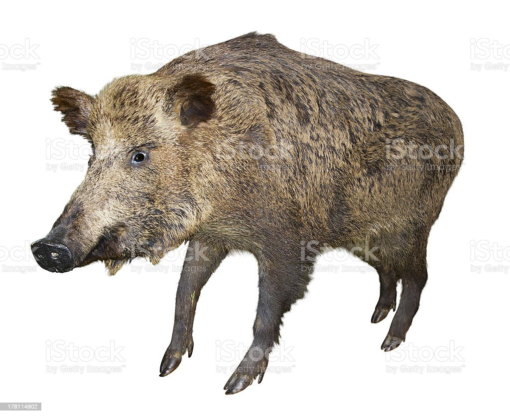 Wild boar pig, isolated over white royalty-free stock photo
