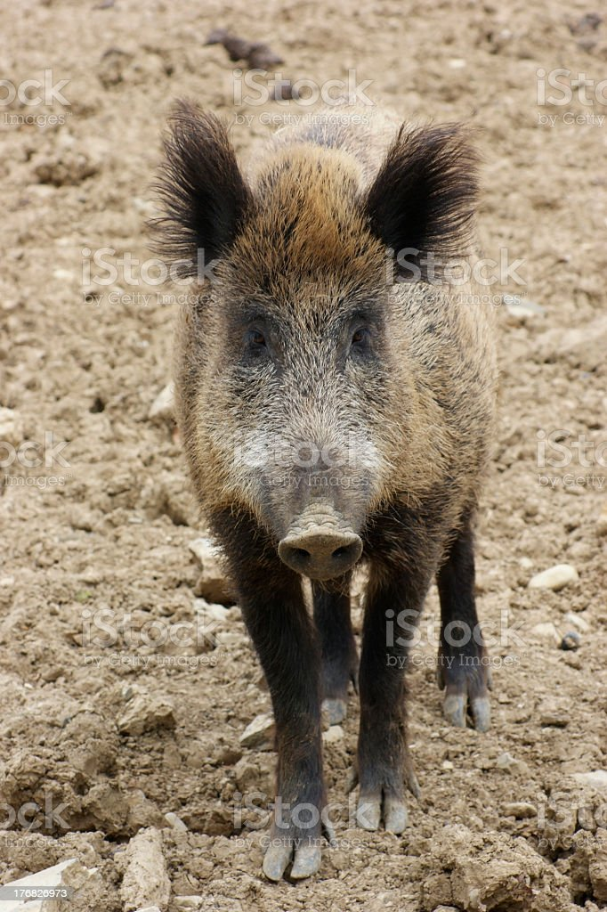 wild boar portrait stock photo
