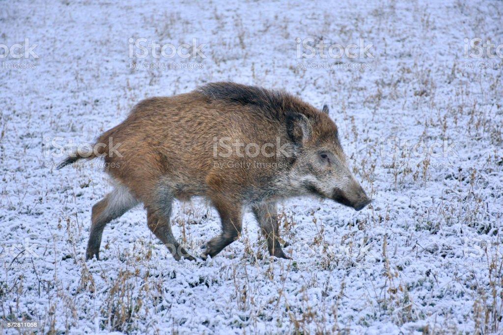 Wildschwein im Winter über ein Feld schlich – Foto