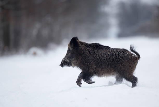 Wildschwein läuft auf Schnee – Foto