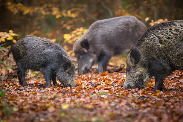 Wild boar sounder in autumn wood A family of wild boar forage in autumn wild boar stock pictures, royalty-free photos & images