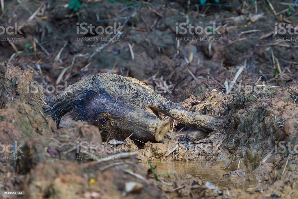 Wild boar(Sus scrofa) spend his time and relaxing stock photo