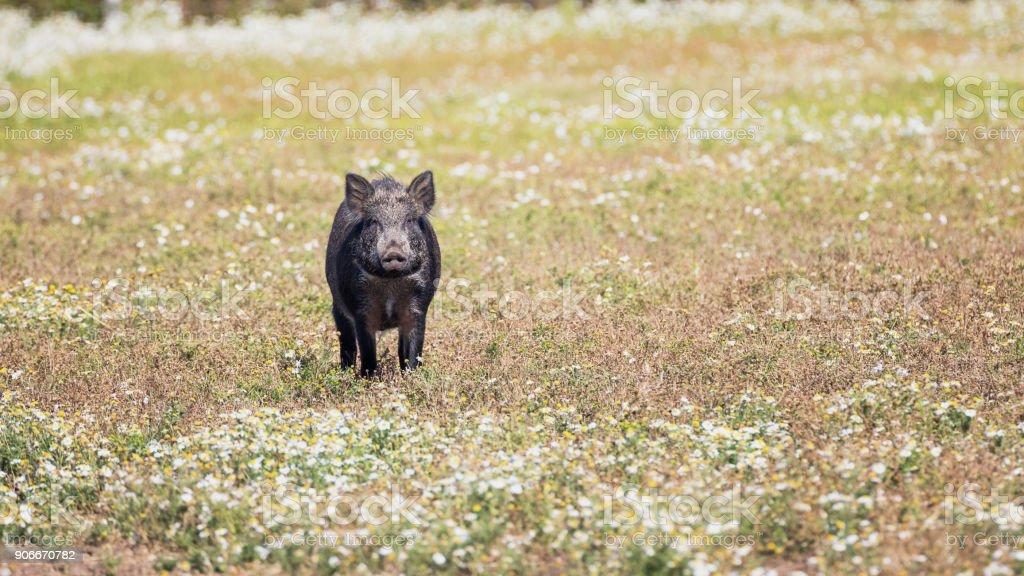 Les sangliers debout dans une prairie de marguerites - Photo
