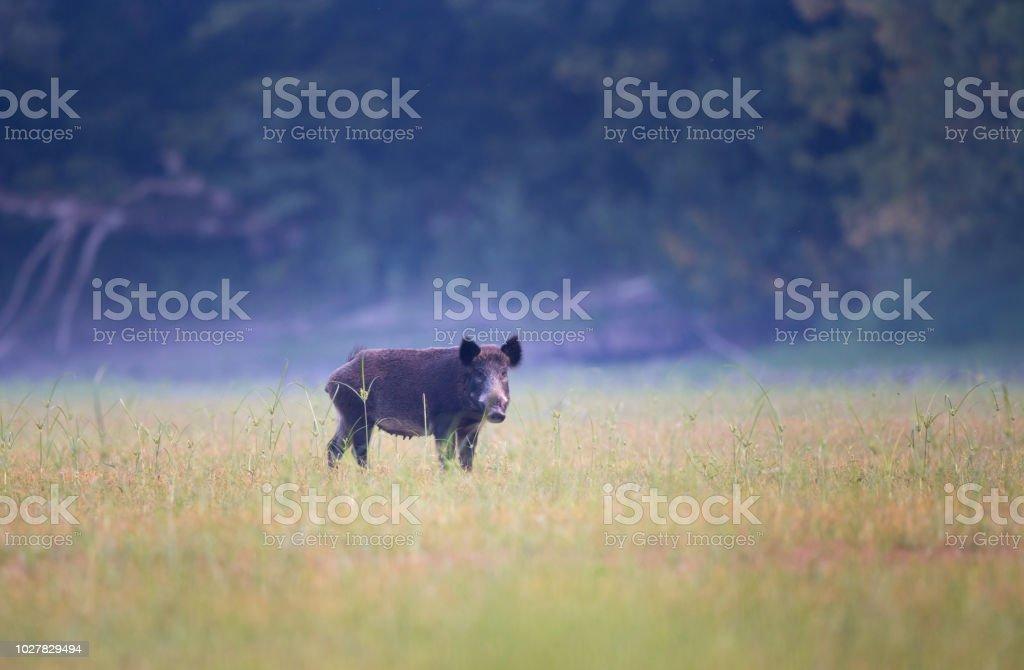 Wildschwein stehend auf Wiese – Foto