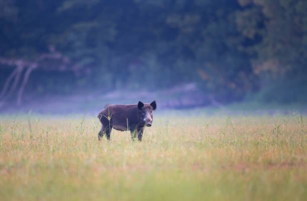 Wild boar standing on meadow Wild boar walking on meadow with forest in background in summer time. Wildlife in natural habitat wild boar stock pictures, royalty-free photos & images