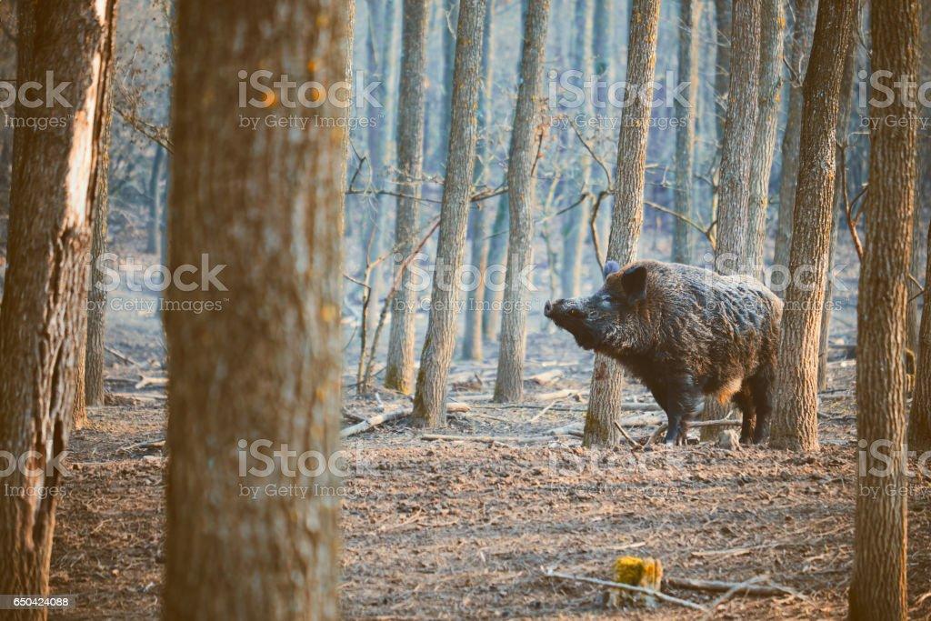 Wild boar, sus scofa – Foto