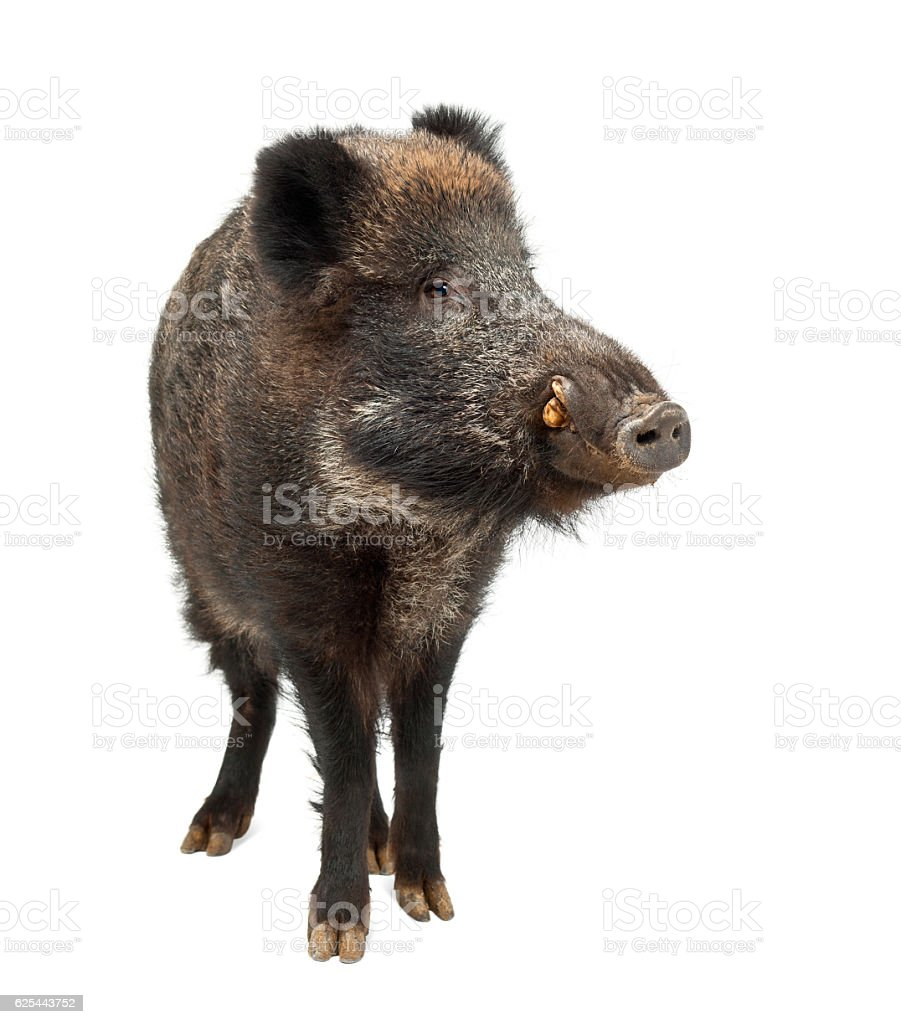 Wild boar, Sus scrofa, 15 years old, standing stock photo