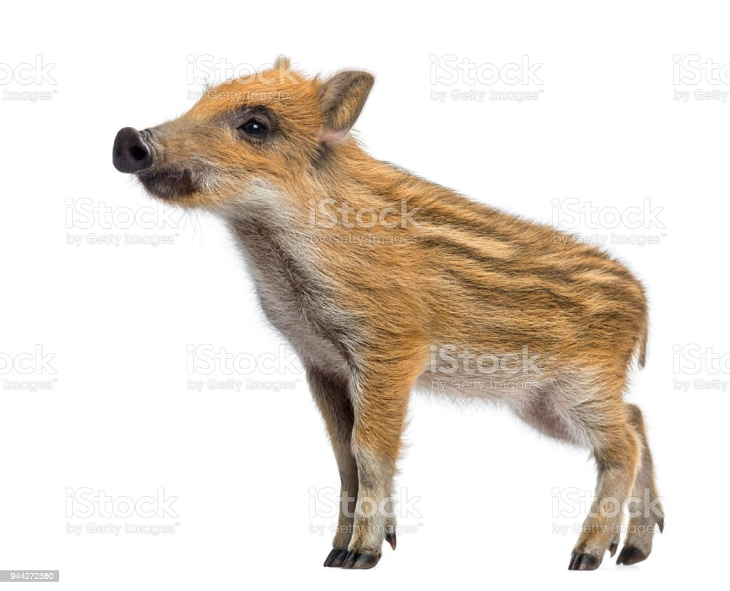 Wild boar, Sus scrofa, 2 months old, standing and looking away, isolated on white stock photo