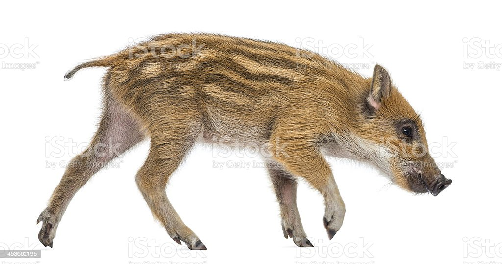 Wild boar, Sus scrofa, 2 months old, walking and sniffing stock photo