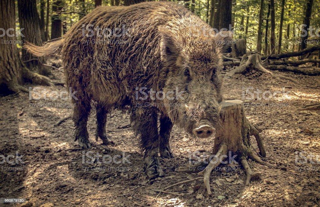 Wildschwein, Sus Scrofa, in natürlicher Umgebung. Porträt, auf der Suche im Objektiv - Lizenzfrei Allesfresser Stock-Foto