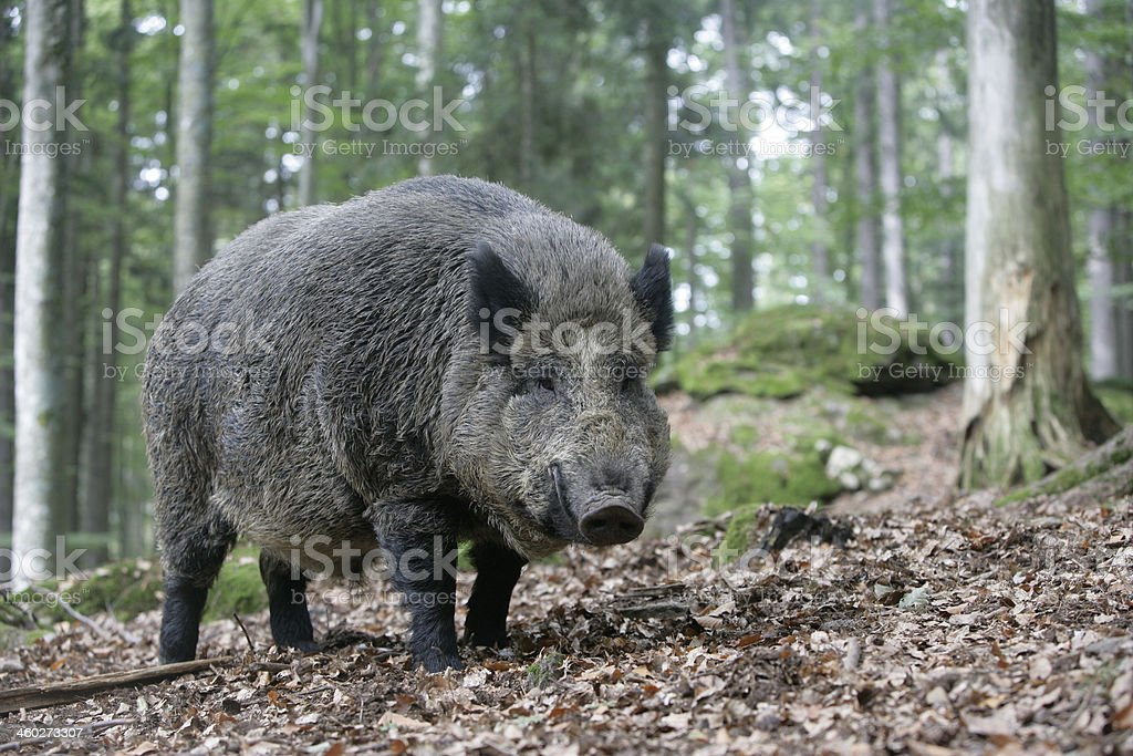 Wild boar, Sus scrofa stock photo