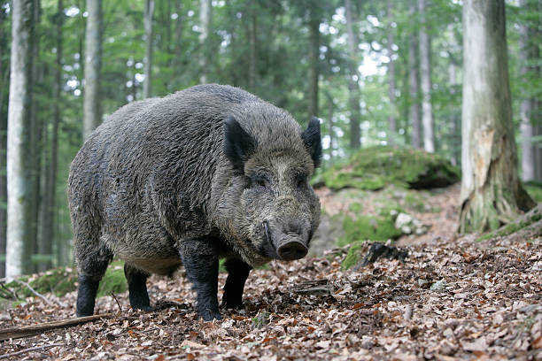 Wild boar, Sus scrofa Wild boar, Sus scrofa, single mammal in wood, Germany wild boar stock pictures, royalty-free photos & images