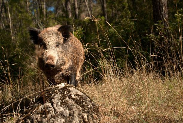 wild boar, sus scrofa,, spain - scrofa foto e immagini stock