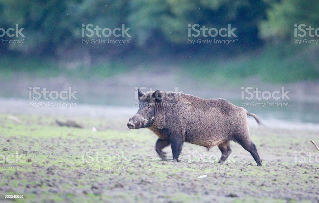 Wild boar walkin in forest stock photo