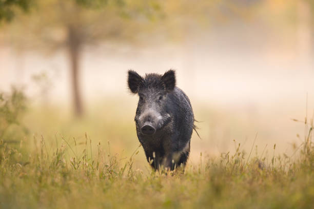 Wild boar walking in forest on foggy morning Wild boar (sus scrofa ferus) walking in forest in fog and looking at camera wild boar stock pictures, royalty-free photos & images
