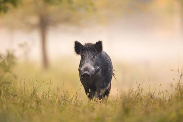wild boar walking in forest on foggy morning - cinghiale animale foto e immagini stock