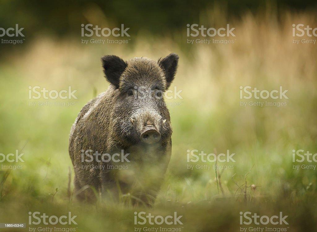 Wild boar walking through forest stock photo