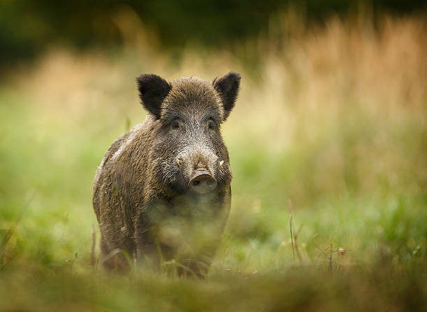 Wild boar walking through forest Wild boar walking through dead grass and pine trees wild boar stock pictures, royalty-free photos & images