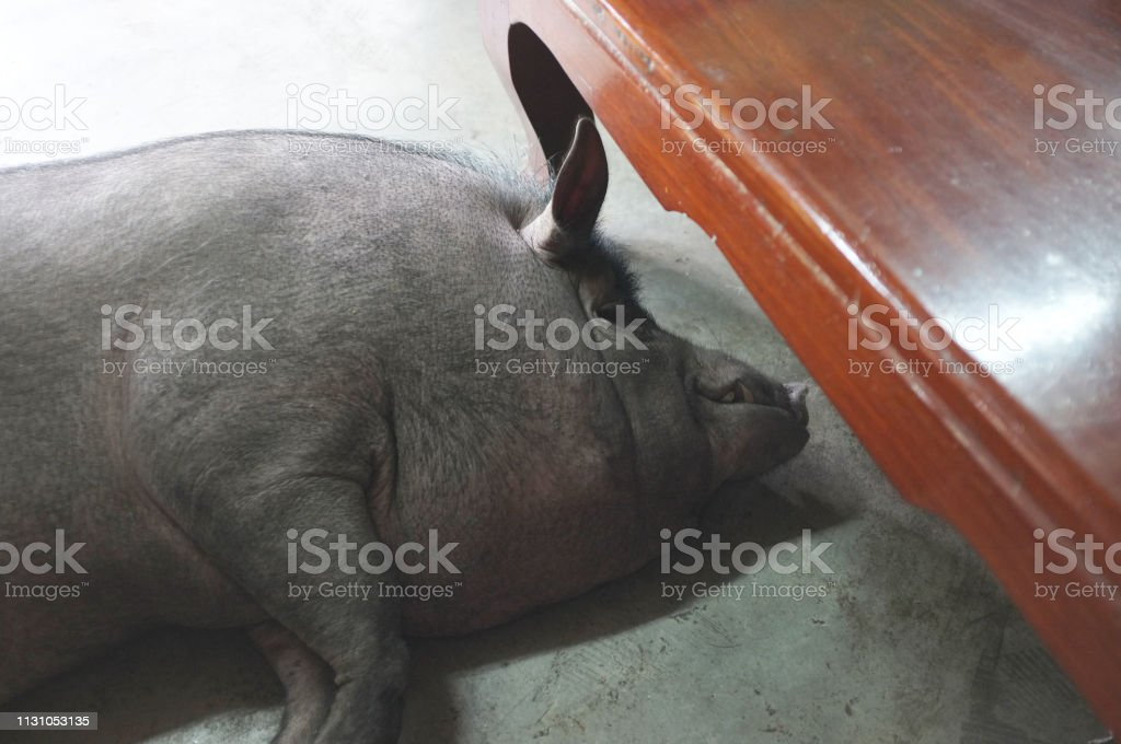 Wild boar was sleeping at home . stock photo