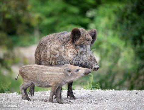 Wild Boar, Wildschwein, with Piglet / Ferkel