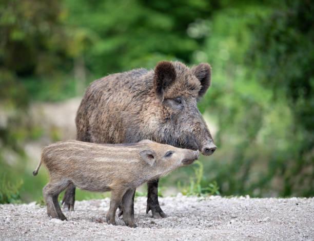 Wild Boar, Wildschwein, with Piglet / Ferkel Wild Boar, Wildschwein, with Piglet / Ferkel animal family stock pictures, royalty-free photos & images