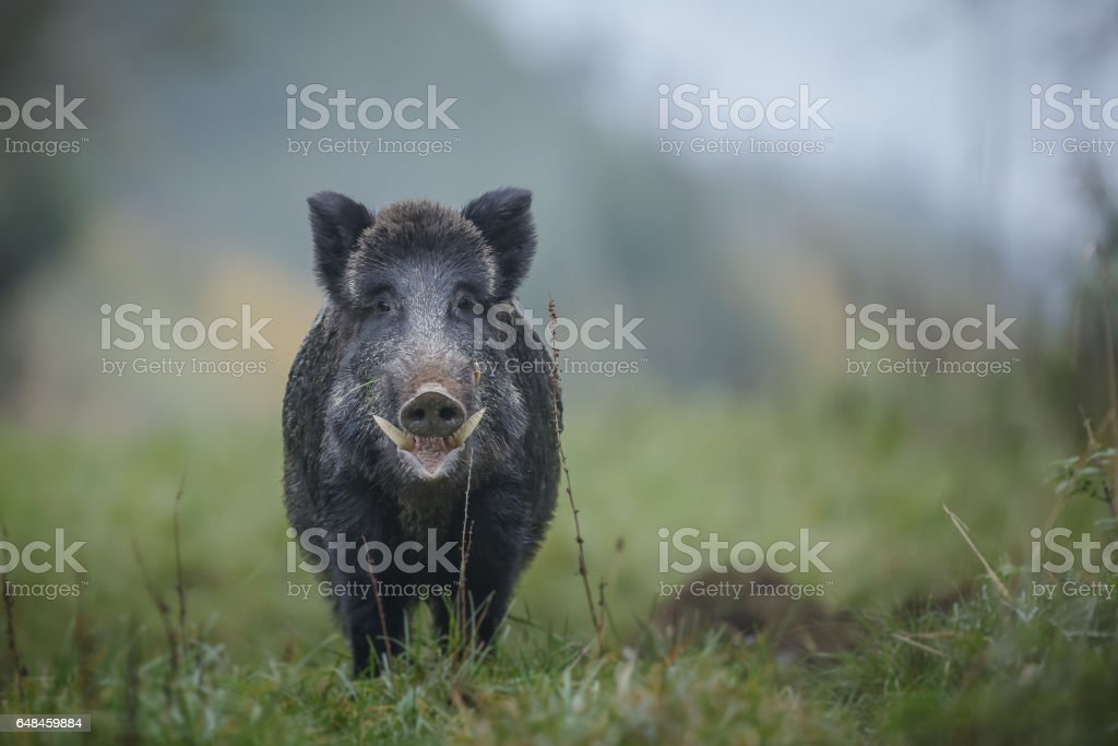 Wild boar with big tusks stock photo