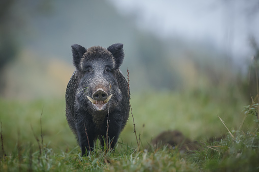 Wild Boar With Big Tusks Stock Photo - Download Image Now ... Giant Wild Boar Photos