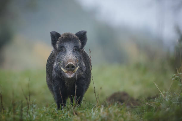 wild boar with big tusks - cinghiale animale foto e immagini stock